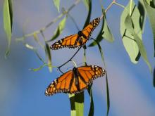 Natural Bridges Beach, California - Monarch Butterflies