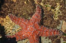 Abalone Cove, California - Starfish