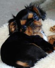 English Toy Spaniel - Puppy