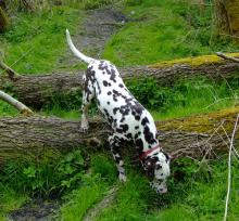 Dalmation - Checking the Scent Trails