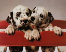 Dalmation - Cute Pair of Puppies