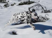 Dalmation - Bounding in the Snow