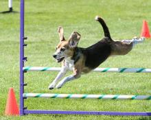 Beagle - Flying Over an Agility Course Jump