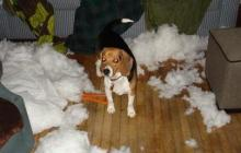 Beagle - I Think I Won The Pillow Fight