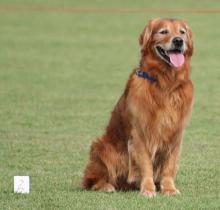 Golden Retriever - Top Performer at Obedience Contests