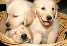 Golden Retriever - Cute Trio of Puppies