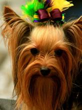 Yorkshire Terrier - Looking Good with Colorful Bow