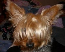 Yorkshire Terrier - OneTip - Take Up Facial Hair with a Bow