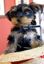 Yorkshire Terrier - Finding a Small Enough Collar is Difficult