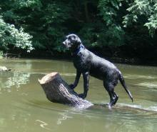 Labrador in its Element - The Water