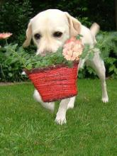Labrador  Puppy Helping in the Garden