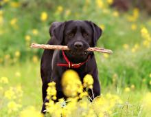 Labrador Retriever - Lab Showing Good Retrieving Skils