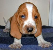 Basset Hound - First steps