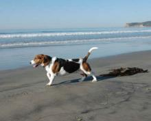 Basset Hound - A day out at the beach