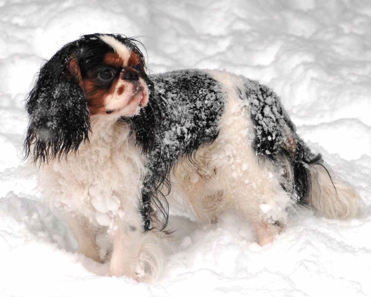 English Toy Spaniel - In the Snow Wallpaper #1 1280 x 1024