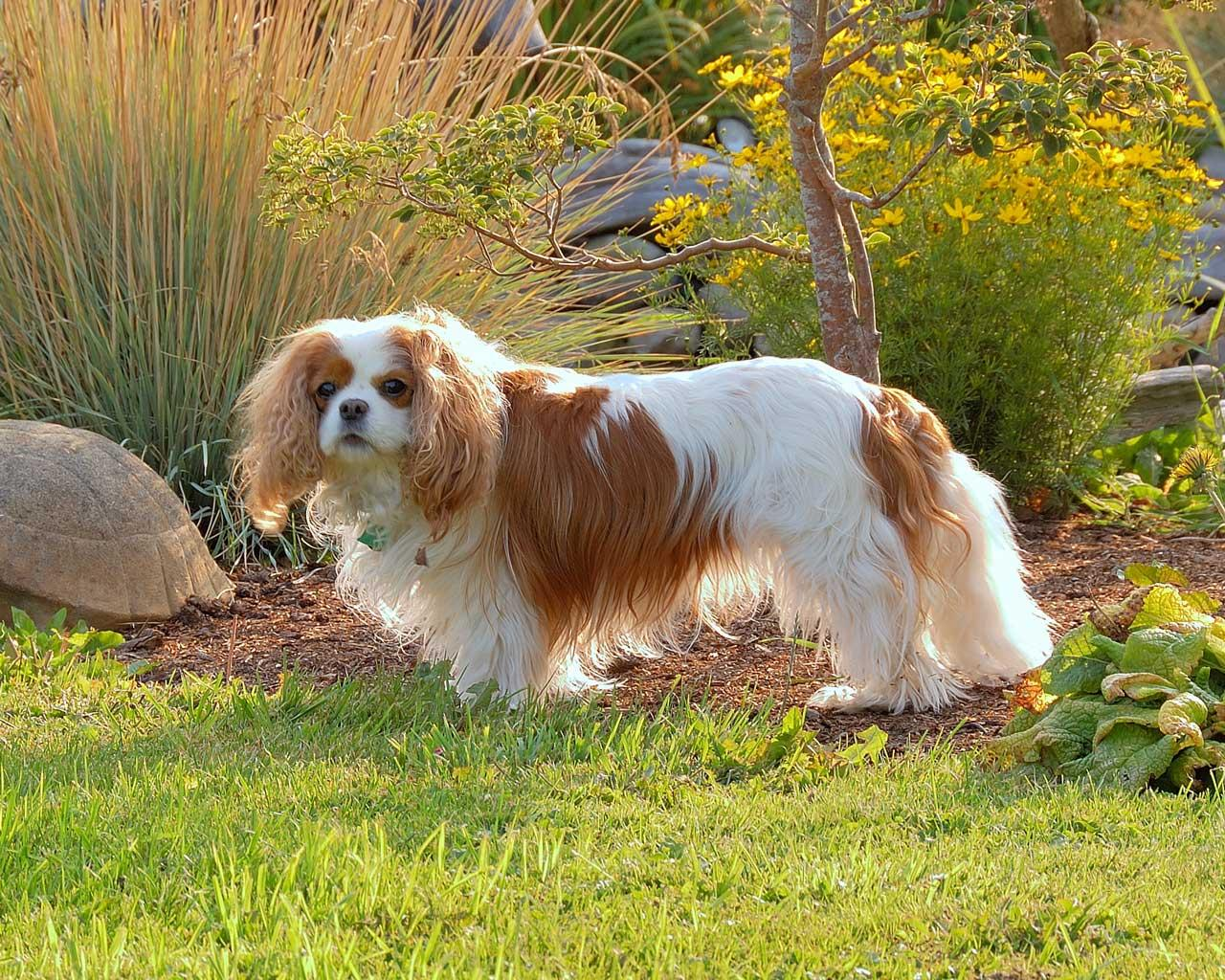 English Toy Spaniel - Cavalier King Charles in the Garden Wallpaper #3 1280 x 1024