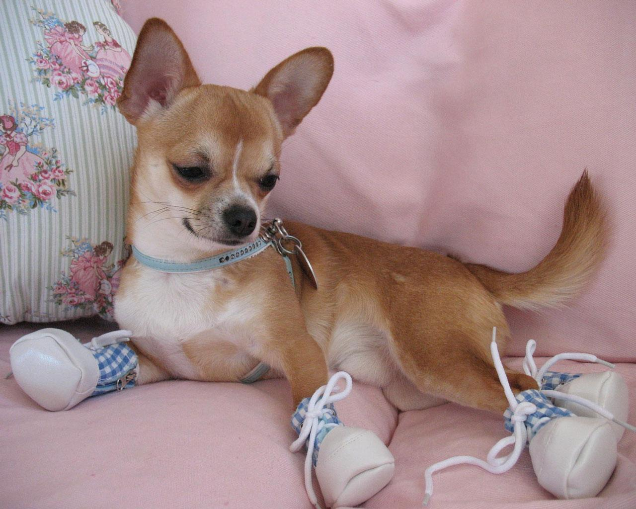 chihuahua with booties 1280x1024 wallpaper 1 more chihuahua wallpapers