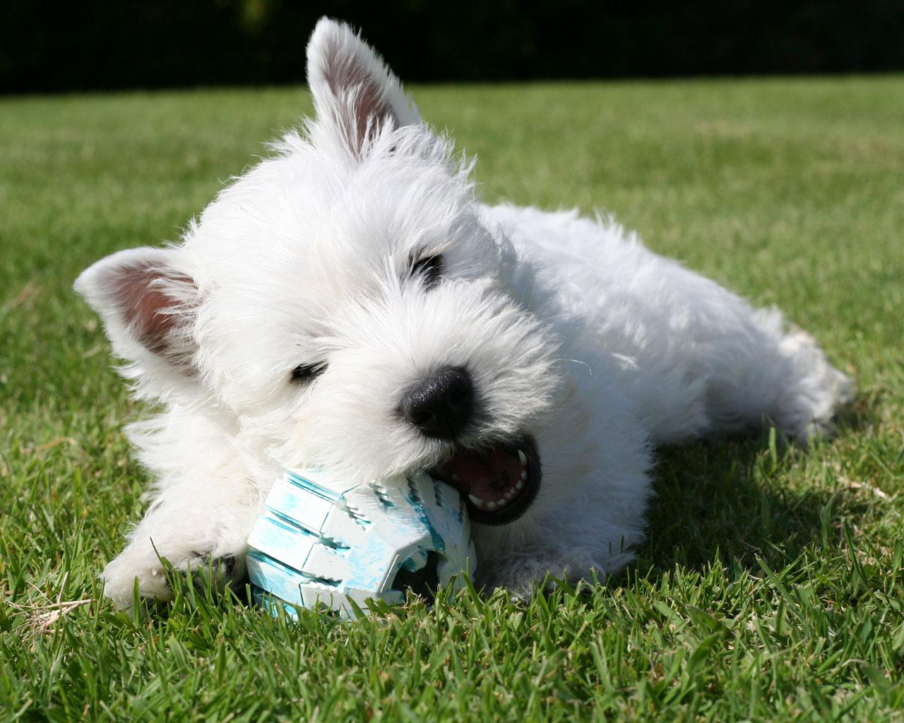 West Highland White Terrier - Westie Playing Wallpaper #1 1280 x 1024