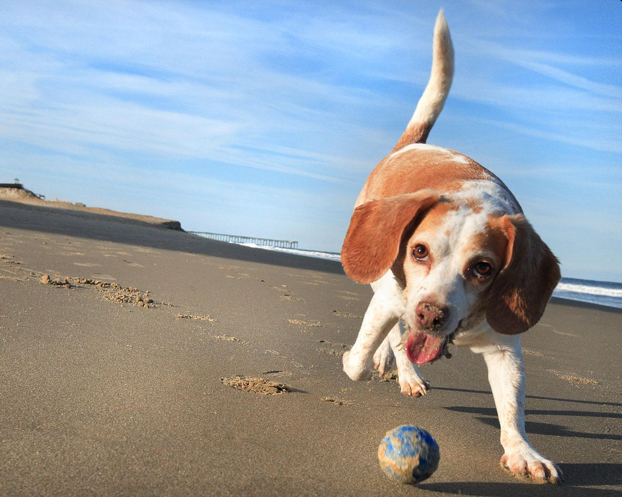 Beagle - Playing With A Ball Wallpaper #1 1280 x 1024