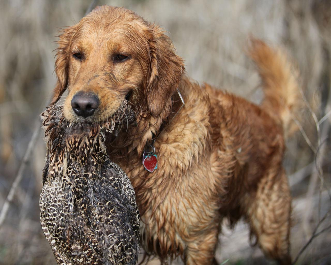 Golden Retriever - Retrieving Wildfowl at the Hunt Wallpaper #4 1280 x 1024