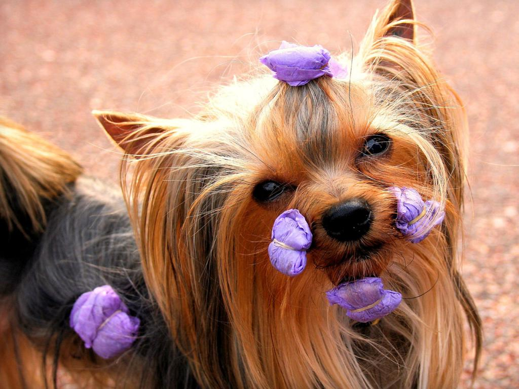 1024x768 wallpaper of yorkies - photo #11