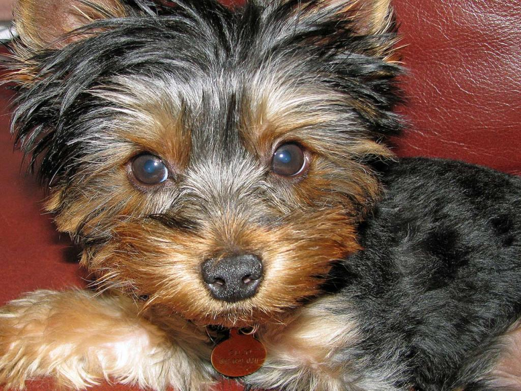 1024x768 wallpaper of yorkies - photo #1
