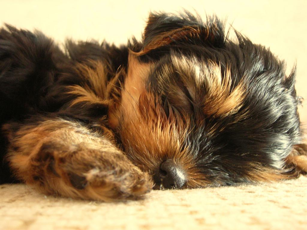 ... pet - Yorkshire Terrier - Puppy having a Snooze 1024x768 Wallpaper #4