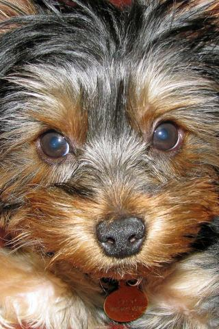 Yorkshire Terrier - Sooo cute Wallpaper #2 320 x 480 (iPhone/iTouch)