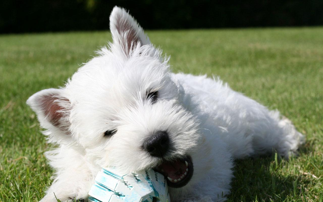 West Highland White Terrier - Westie Playing Wallpaper #1 1280 x 800