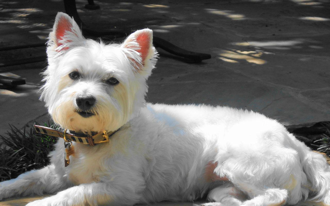 West Highland White Terrier - A Smashing Looking West Highland Terrier Wallpaper #4 1280 x 800