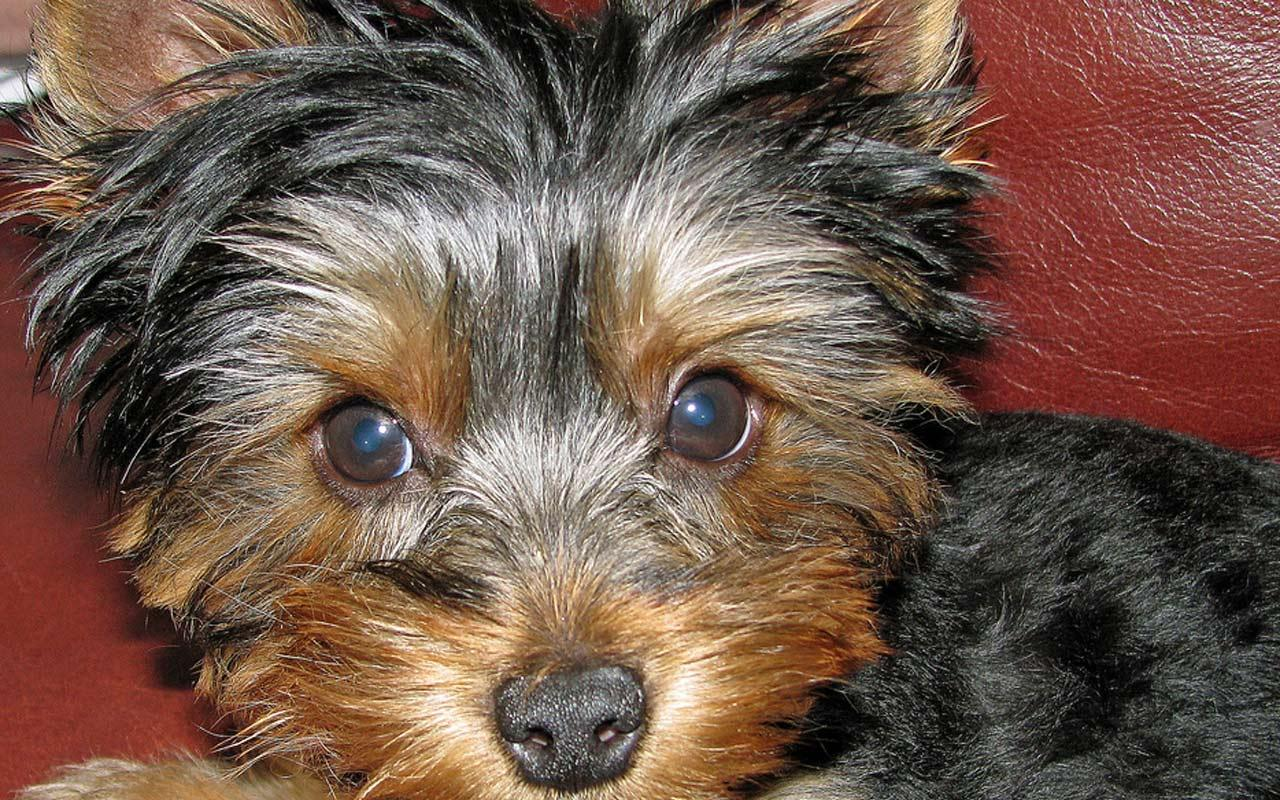 Yorkshire Terrier - Sooo cute Wallpaper #2 1280 x 800