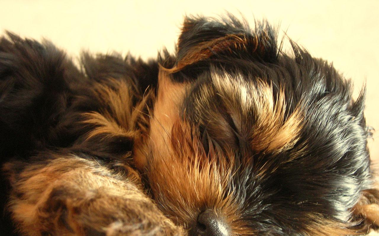 Yorkshire Terrier - Puppy having a Snooze Wallpaper #4 1280 x 800.