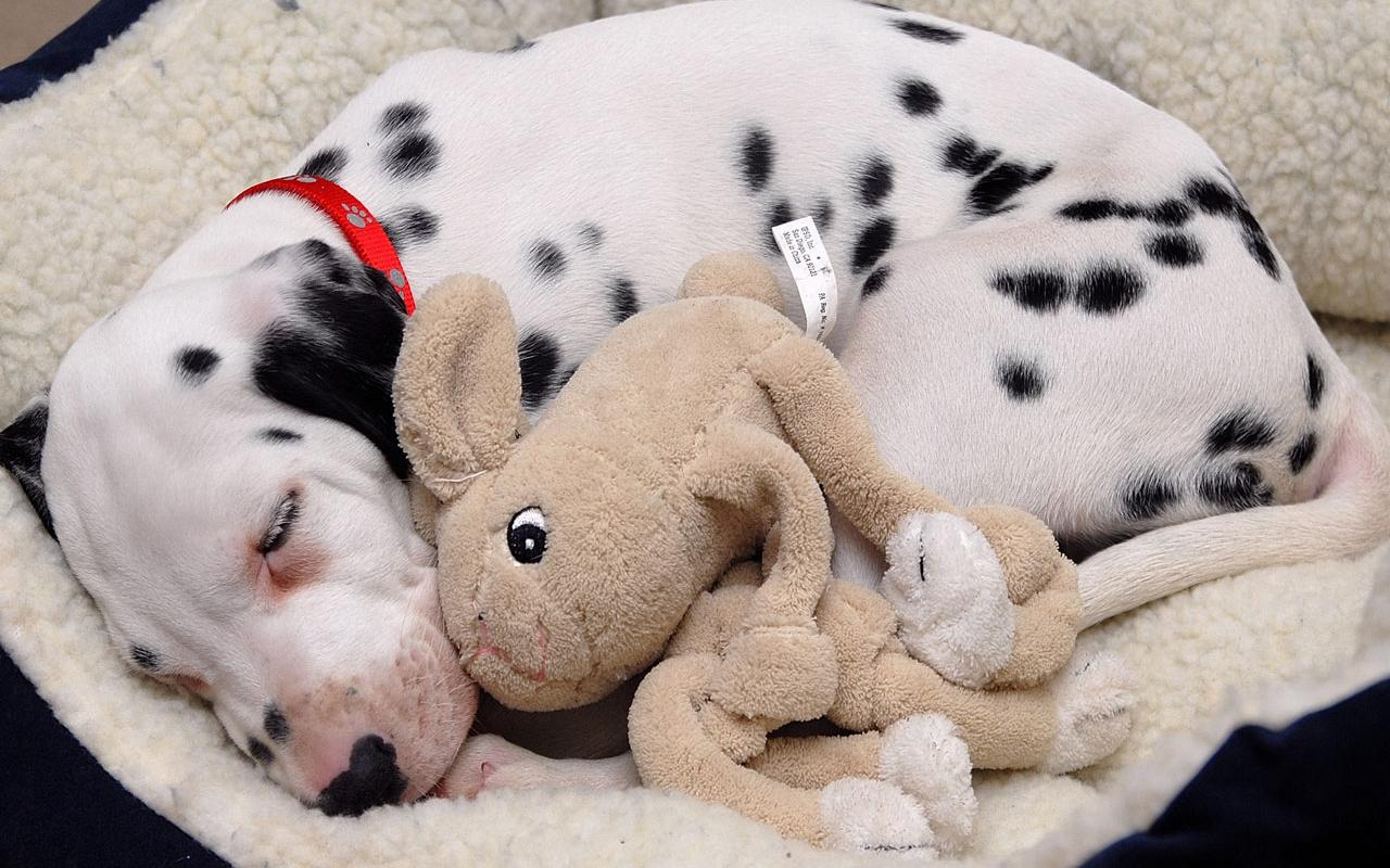 Dalmation - Puppy with Favorite Toy Wallpaper #3 1280 x 800