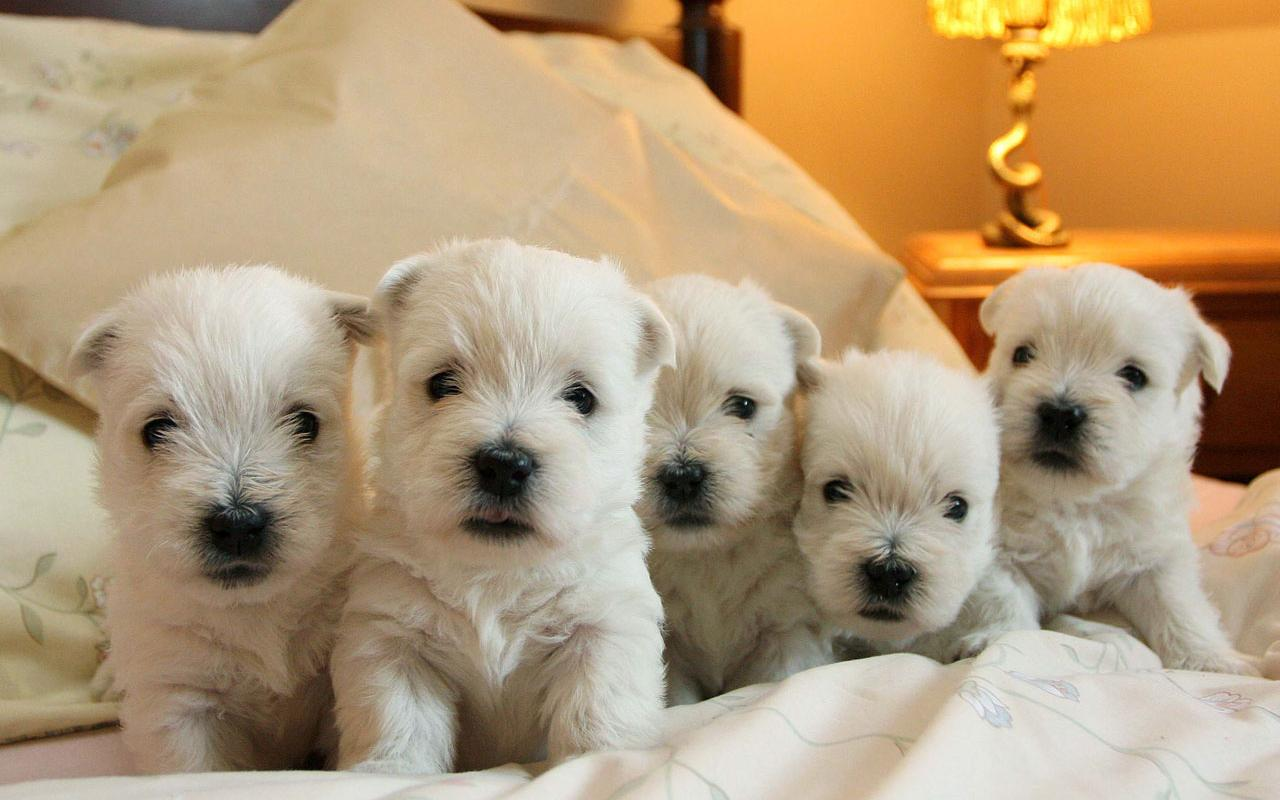 West Highland White Terrier - A Family Group of Westie Pups Wallpaper #2 1280 x 800