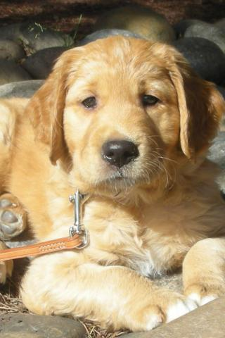 Best Pet Golden Retriever Puppy At Beach 320x480
