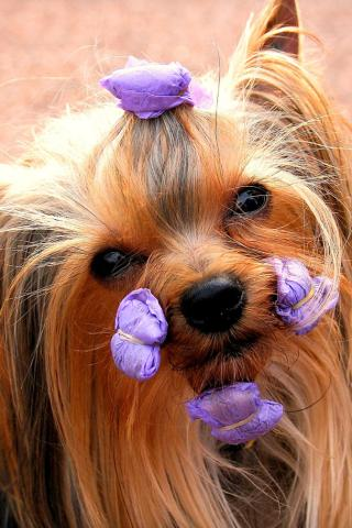 Yorkshire Terrier - Ready for the Show Wallpaper #1 320 x 480 (iPhone/iTouch)