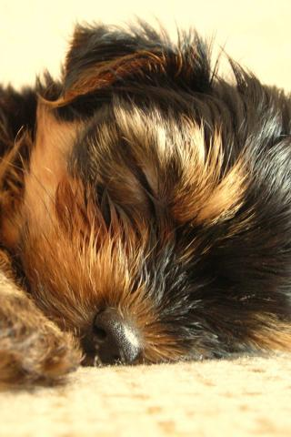 Yorkshire Terrier - Puppy having a Snooze Wallpaper #4 320 x 480 (iPhone/iTouch)