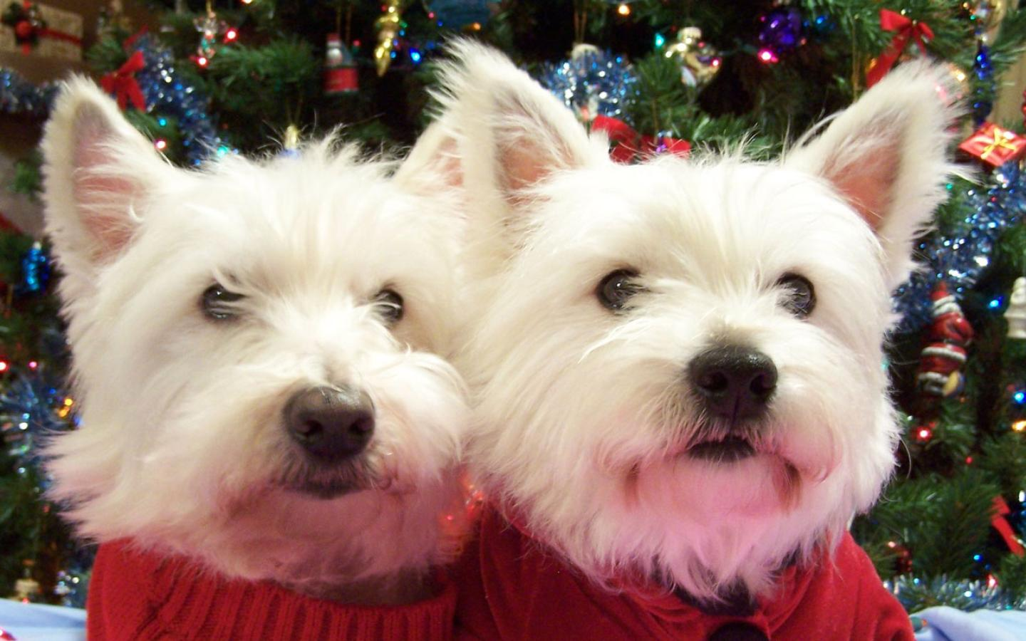 West Highland White Terrier - Looking Great at Christmas Wallpaper #3 1440 x 900