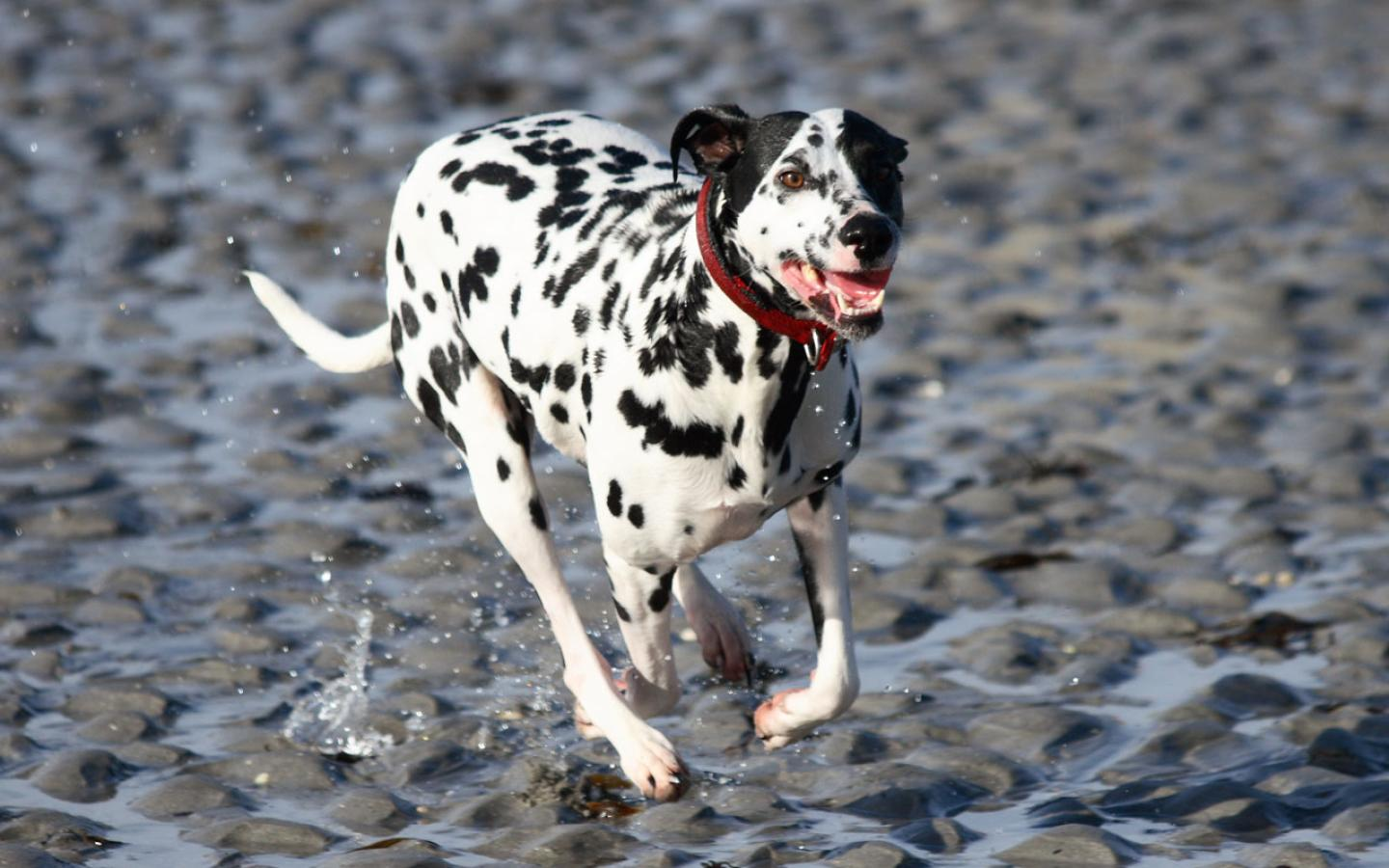 Dalmation - On the Beach Wallpaper #2 1440 x 900