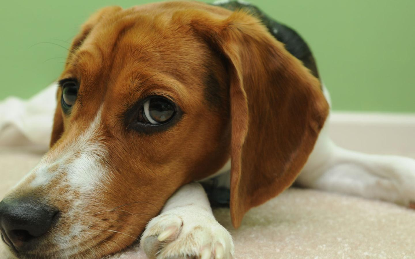 Beagle - In Contemplative Mood Wallpaper #4 1440 x 900